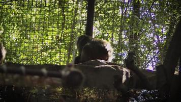 familia de monos de nieve en el hábitat del zoológico