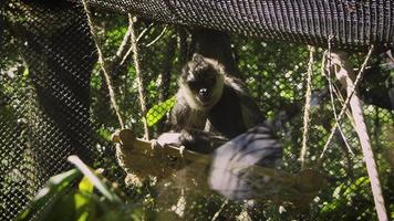 Mono araña descansando en el hábitat del zoológico