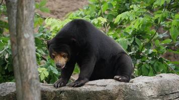 Life of wildlife Asian black bear in forest video