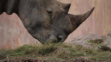 close-up rinoceronte comendo grama na selva