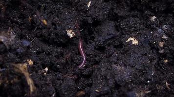Close Up Of Red Earthworm video