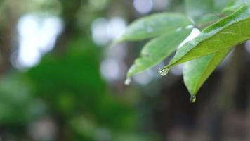gotas d'água caindo das folhas verdes durante a chuva video