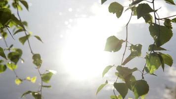 hojas de abedul y luz solar