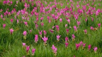 Beau champ de tulipes siam à chaiyaphum, Thaïlande