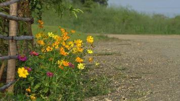 cosmos flores junto a la cerca de la granja y la carretera.