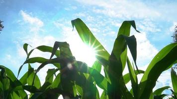 Corn Plant Leaves and Sun Flare