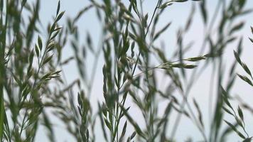herbe dans le vent