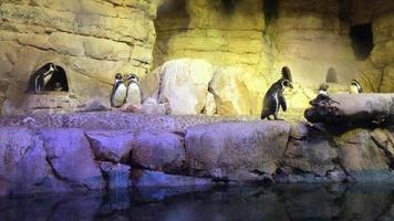 pinguins andando na enseada 4k video