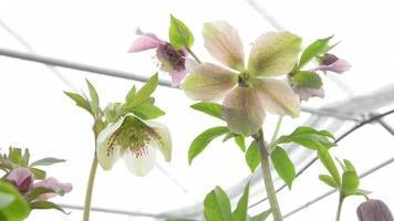 broto artístico de flores de heléboros