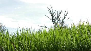 champ d'herbe video