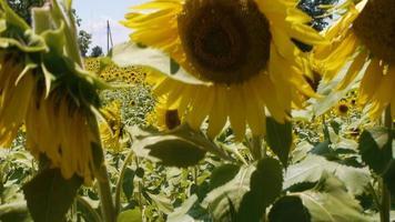 revelação de uma grande fazenda de flores video