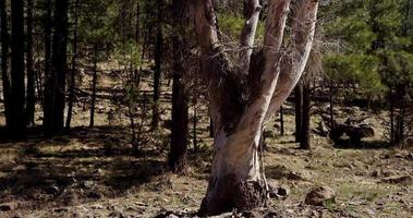 Vertical panning shot of white dry tree in green forest in 4K