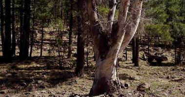 Toma panorámica vertical de árbol seco blanco en bosque verde en 4k