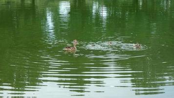 Ducks Swimming in Pond 4K