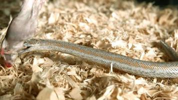 serpente in ultra slow motion (1.500 fps) - snakes phantom 012