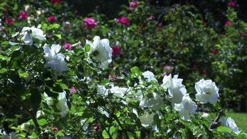 rosas brancas balançando em um jardim verde