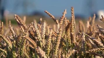campo di grano e traffico sfocato