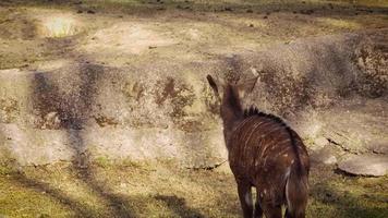 jovem veado nyala no habitat do zoológico video