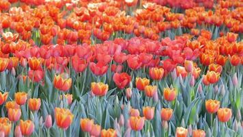 fiore del tulipano in campo in inverno o in primavera.
