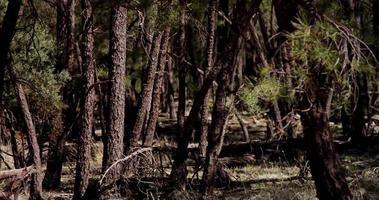 Toma panorámica lenta de troncos delgados en un bosque maravilloso en 4k