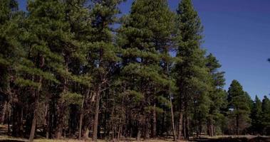 Toma panorámica lenta a la derecha de grandes árboles en un bosque maravilloso en 4k
