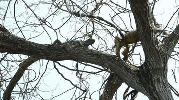 grandes iguanas. video