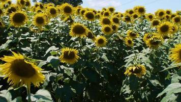 plano medio de un campo de flores