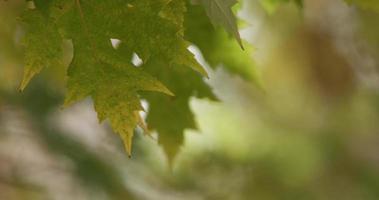 close-up extremo de poucas folhas movidas pelo vento com galhos desfocados no fundo em 4k
