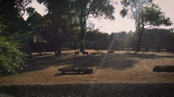 impalas em habitat de zoológico com árvores video