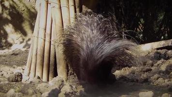 porco-espinho no habitat do zoológico em câmera lenta video