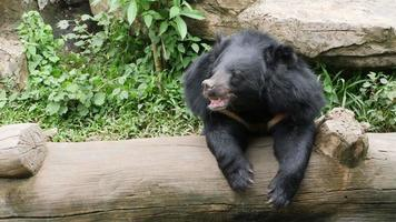 Asian black bear leaning over a log
