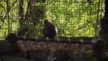 pequeño mono de nieve jugando en el hábitat del zoológico