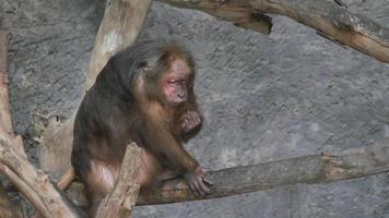 macaco rhesus selvagem na floresta