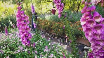 detalhe de flores rosa dedaleira no jardim botânico video