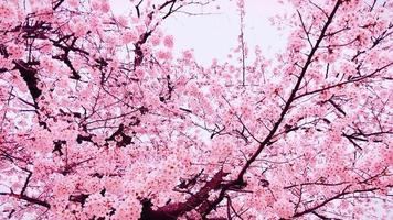 flores de sakura no japão video