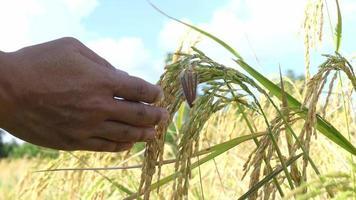 mãos tocando as plantações no campo de arroz