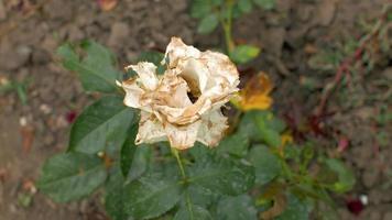 rosa branca desbotada e podre balançando com o vento video