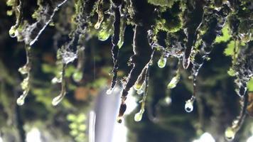 gotas de água de planta musgosa video