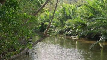 brisa soprando através do riacho e exuberante bosque de palmeiras nipa video