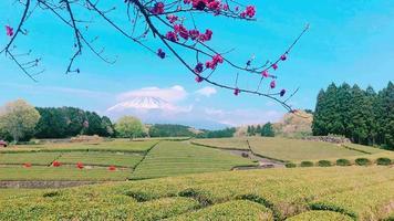 hermosa plantación de té en el monte fuji. video