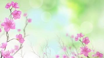 fondo de flor de durazno