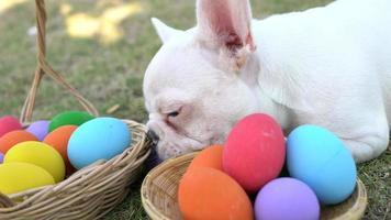 bulldog francese mangia l'uovo di Pasqua video