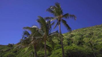 palmeras contra las montañas de hawaii 4k video