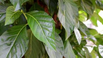 hojas verdes.