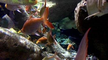 vista del pesce rosso che nuota in acqua 4K