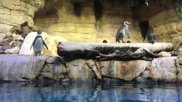 pinguins nadando 4k video