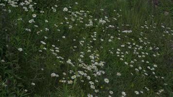 hermosas flores de margarita en el campo 4k