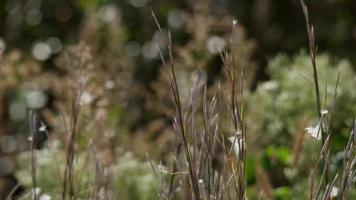 close-up de pontas marrons e grama verde movida pelo vento em 4k