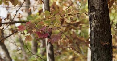 folhas vermelhas e amarelas em galhos de árvores movidas pelo vento em cena de floresta em 4k video