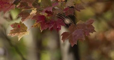 close-up extremo de folhas vermelhas movendo-se no fundo desfocado da floresta em 4k